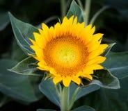 Der Sonnenblumenabschluß oben auf grünem backround Lizenzfreies Stockbild