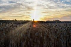 Der Sonnenuntergang über dem Weizenfeld Hintergrundbeleuchtungssonnenlicht Lizenzfreie Stockfotografie