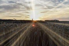 Der Sonnenuntergang über dem Weizenfeld, langes Hintergrundbeleuchtungssonnenlicht Lizenzfreie Stockfotografie