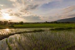 Der Sonnenuntergang denken über das Reisfeld nach, das von Thailand Nord ist Stockbild