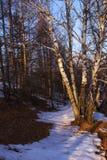 Der sonnige Tag Birken- und Schneespur lizenzfreie stockbilder