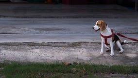 Der Spürhund, den Hund angekettet wurde, band, weil sehr frech Stockbild