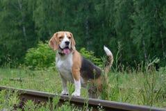 Der Spürhund für einen Weg auf der Waldeisenbahn Lizenzfreie Stockbilder