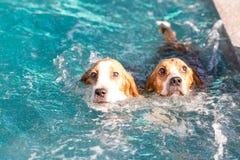 Der Spürhundhund mit zwei Jungen, der auf dem Swimmingpool spielt - schauen Sie oben Lizenzfreies Stockfoto