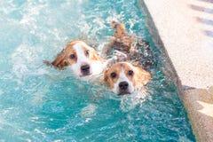 Der Spürhundhund mit zwei Jungen, der auf dem Swimmingpool spielt - schauen Sie oben Stockbild