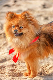 Der Spitz, Hund, Hündchen bleibt auf dem Sand mit rotem Bogen und schaut in Ihrer Richtung Lizenzfreie Stockfotos
