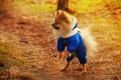 Der Spitz, Welpe, Hund bleibt auf hinteren Tatzen und schaut zur linken Seite und kleidet in einer blauen Strickjacke mit Weiß an stockfotografie