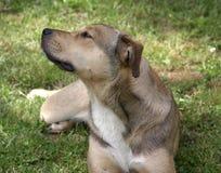 Der stafford Hund stockbild