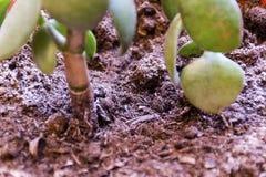 Der Stamm der Anlage wächst aus dem Boden heraus stockfoto