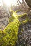 Der Stamm eines Baums wird mit grünem Moos bedeckt Stockbild
