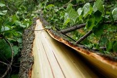 Der Stamm und die Barke eines defekten Baums Konzept: die Konsequenzen des schlechten Wetters lizenzfreies stockfoto
