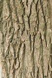 Der Stamm und die Barke eines erwachsenen Baums, Hintergrund Stockfotos