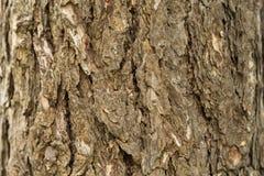 Der Stamm und die Barke eines erwachsenen Baums, Hintergrund Stockbild