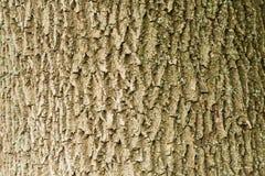 Der Stamm und die Barke eines erwachsenen Baums, Hintergrund Stockfotografie