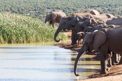 Der Stamm von Afrikaner-Bush-Elefanten Lizenzfreies Stockfoto