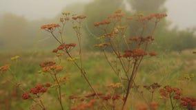 Der Stamm von getrocknet hogweed stock video footage