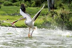 Der Start des schönen Pelikans vom Wasser Stockfotografie