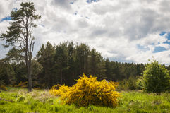 Der Stechginsterbusch, Ulex Lizenzfreies Stockbild