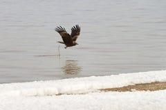 Der Steinadler, der über einen Fluss fliegt Lizenzfreie Stockfotografie