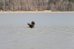 Der Steinadler, der über einen Fluss fliegt Lizenzfreies Stockfoto