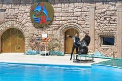 Der Stellerscher Seelöwe Lat Eumetopias jubatus oder Nordseelöwe, Steller, eine Leistung beim Adler Dolphinarium Lizenzfreie Stockbilder