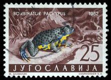 Der Stempel, der in Jugoslawien gedruckt wird, zeigt die Apennine Gelb-aufgeblähte Kröte Lizenzfreie Stockfotos