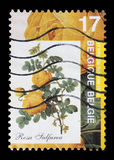 Der Stempel, der durch Belgien gedruckt wird, zeigt Rose Lizenzfreie Stockfotografie
