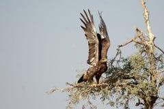 Der Steppenadler ist ein Raubvogel bikaner entfernend Stockbilder