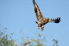 Der Steppenadler ist ein Raubvogel den Start Stockbilder