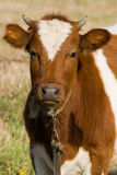 Der Stier auf einem Kreisläuf Stockfotografie
