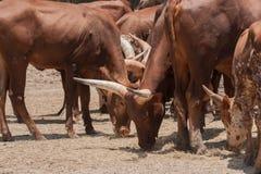 Der Stier, der getrocknetes Gras isst stockbild