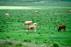Der Stier in der Wiese Lizenzfreies Stockfoto