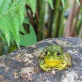 Der stillstehende Frosch Lizenzfreies Stockfoto