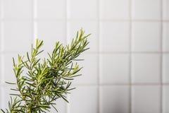 Der Stock des Rosmarins herausgeschnitten auf eine weiße Küche deckte Hintergrund mit Ziegeln Stockfotografie