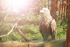 Der stolze Vogeladler sitzt auf Baumast Lizenzfreie Stockfotografie