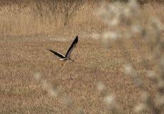 Der Storch, der nach Lebensmittel in der Wiese sucht Stockbilder