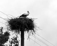 Der Storch ist in einem Nest Lizenzfreies Stockfoto