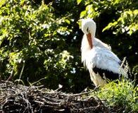 Der Storch sitzt im Nest Lizenzfreies Stockfoto