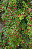 Der Strauch von roten Beeren auf dem Steinhintergrund Stockfotos