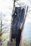 Der Stumpf eines gebrannten Baums Lizenzfreie Stockbilder
