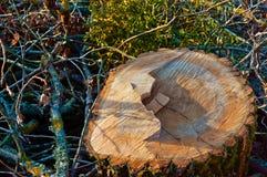 Der Stumpf eines gefällten Baums, der Sägeschnitt und die Schwade von Bäumen, der Baumstamm in der Scheibe Stockfotos
