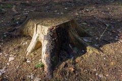 Der Stumpf im Wald auf Erde wird durch die Sonne belichtet lizenzfreies stockfoto