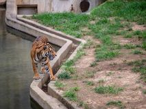 Der Sumatran-Tiger Panthera-Tigris-sondaica geht entlang Betonschranke an einer Zooeinschließung stockfoto