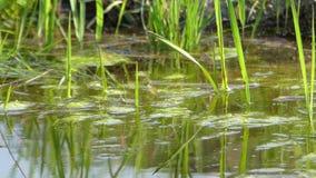 Der Sumpf und die Reflexion in ihr stock video