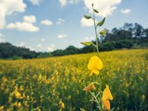 Der Sunn-Hanf oder das Crotalaria juncea auf dem Gebiet Stockfoto