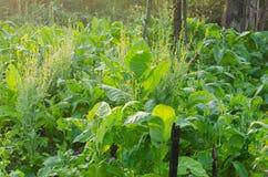 Der Tabakanbau im ländlichen Bauernhof stockfoto