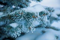 Der Tannenzweig umfasst durch den Schnee Stockfoto