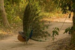 Der Tanzen König!! Der indische Peafowl oder blauer Peafowl lizenzfreie stockfotografie
