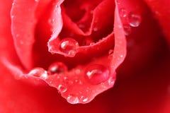 Der Tautropfen auf roter Rose Stockbilder