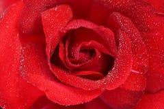 Der Tautropfen auf roter Rose Lizenzfreies Stockfoto
